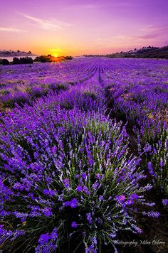 Sunny Lavender Field