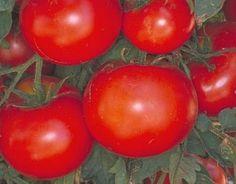 Celebrity Vfnt Tomato Seeds - http://www.celebrity-juice.com/celebrity-vfnt-tomato-seeds/