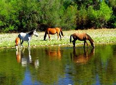 Governor Ducey and Rep. Matt Salmon to feds: leave Salt River horses alone!  #wildhorses, #srwh