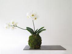 Beautiful arrangement with white phalaenopsis (orchid) kokedama and concrete