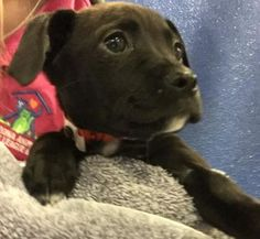 Pictures of Dandy a Labrador Retriever for adoption in Phoenix, AZ who needs a loving home.