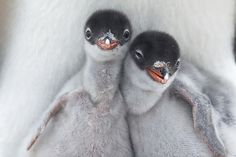 ENTRY ID: 206121 | Two newly hatched Gentoo Penguin chicks g… | Flickr