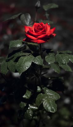 Here we have Madame Rose, ready for the spotlight Wallpaper Nature Flowers, Rose Flower Wallpaper, Beautiful Flowers Wallpapers, Flower Background Wallpaper, Flower Backgrounds, Flowers Nature, Girl Wallpaper, Iphone Wallpaper, Red Rose Love