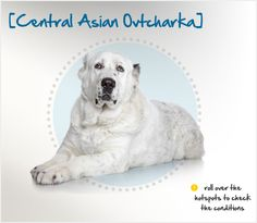 The Central Asian Ovtcharka, or Central Asian Shepherd Dog, is an ancient Russian breed that developed largely by natural selection. A large dog descended from the ancient dogs of Tibet and cattle dogs from local nomadic tribes, he was originally used to protect cattle, caravans and the dwellings of his owners, and was well-conditioned for the hard living his environment provided. Unique Dog Breeds, Rare Dog Breeds, Beautiful Dog Breeds, Popular Dog Breeds, Beautiful Dogs, Amazing Dogs, Alabai Dog, Asian Dogs, Every Dog Breed