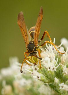 Paper Wasp Order Hymenoptera