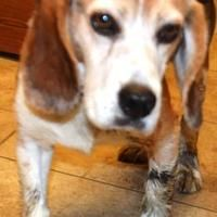 St Martinville Louisiana Beagle Meet Hairy Paw Ter A For