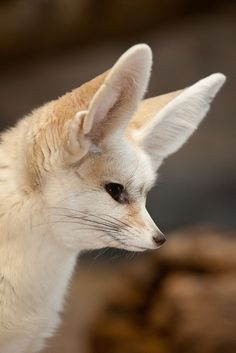 Fennec Fox by A.J. Haverkamp