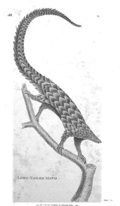 A long-tailed manis. Apparently it was a real creature, but to me it looks like something out of Borges' bestiary.
