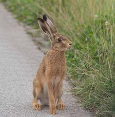 Happy Animals, Nature Animals, Woodland Animals, Animals And Pets, Cute Animals, Rex Rabbit, Jack Rabbit, Rabbit Art, Forest Creatures