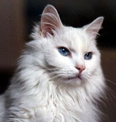 Turkish Angora Cat - The Turkish Angora is described as being the ballerina of cats. The legs are long and fine-boned and the head is an elegant pointed wedge. Large eyes and large, pointed ears round of the look and the tail flows out behind the cat in a long plume of silky hair. Odd-eye color is common amongst Turkish Angora cats and the one eye will usually be blue whilst the other can be green, brown or yellow.