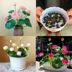 Real Lotus Flower Seeds Bonsai Set Lotus Seeds Per Set) - Grow Your Own Buddha Lotus Flowers Real Lotus Flower Seeds Bonsai Set Lotus Seeds Per Set) - Grow Your – Buddha Power Store Lotus Flower Seeds, Flower Pots, Lotus Flowers, Home Garden Plants, House Plants, Bonsai Garden, Growing Flowers, Planting Flowers, Buddha Lotus