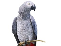 Stay grey. parrot, bird, pet, nature, art, animal, tropical, isolated, drawn, hand, drawing, exotic, macaw, wild, wildlife, feather, fauna, jungle, summer, forest, brazil, caribbean, watercolor, beauty, cockatoo, amazon, wing, colorful, retro, toucan, tropic, paradise, hawaii, flower, flamingo, world, painting, contour drawing, wild animal, hand drawn, animal, nature, vector, flamingo, pattern, aloha, fashion, paradise, spring, leaf, botanical, botanic, decoration, elegance, palm, branches…