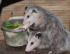 Baby Opossums munching on some chicken and greens.