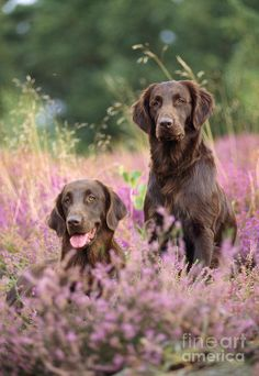 Liver Flat-coated Retriever Dogs Print by John Daniels.  All prints are professionally printed, packaged, and shipped within 3 - 4 business days. Choose from multiple sizes and hundreds of frame and mat options.