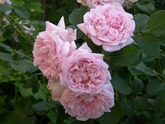 fragrant masterpiece rose | Louise Clements. Fragrant, very hard blooming, finally became big this ...