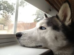 My sweet Siberian who loves looking at the kids across the street. She'll be the best nanny/child monitor once we have our own :)