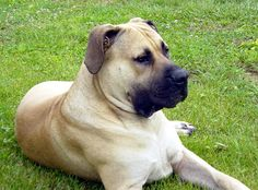 South African Boerboel   ...........click here to find out more     http://googydog.com              ...... P.S. PLEASE FOLLOW ME IN HERE @Emily Schoenfeld Schoenfeld Wilson