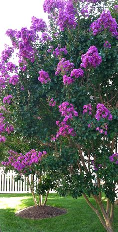 Crape Myrtle comes in purple, pink, red and yellow they are so beautiful. (hard to grow in KS colder winters, but not impossible, some varieties hardier like red)