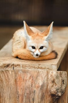 Fuchs, lange Ohren | Smini