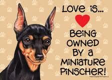 Love is Being Owned by a Miniature Pinscher Sign. So true. These dogs sure are stubborn. Mini Pinscher, Miniature Pinscher, Doberman Pinscher, Miniature Doberman, I Love Dogs, Puppy Love, Cute Dogs, Akita, Mini Doberman