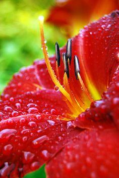 ~~Day lily red by Keartona~~