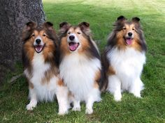 Three adorable sheltie dogs