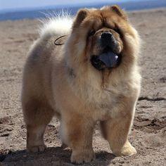 Chow Chow - Medium Dog Breed | Dog Fancy