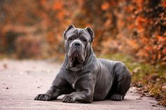Stunning pic of gorgeous #cane #corso