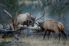 Elk Battling