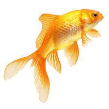 Resultado de imagem para goldfish