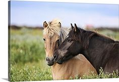 Icelandic Horse Art Print by Gigja Einarsdottir. All prints are professionally printed, packaged, and shipped within 3 - 4 business days. Two Horses, Wild Horses, Most Beautiful Animals, Beautiful Horses, Wall Art Prints, Canvas Prints, Framed Prints, Big Canvas, Icelandic Horse