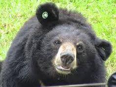 PETALI DI CILIEGIO ...per coltivare la speranza: In difesa degli animali: gli orsi della luna