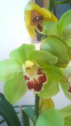 Orquídeas de casa...