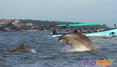 Explore Wild Dolphins in the Arabian Sea with a fun-filled boat tour. Also Watch popular place like Millionaire's Palace, Aguada Fort, Lighthouse & Jail from the boat. Spot Books, Arabian Sea, Cheap Cruises, Lovely Creatures, Island Tour, Travel Companies, Boat Tours, Tour Operator, Short Trip