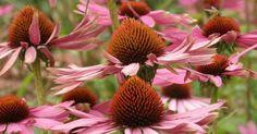 Pflanzen zur Vorbeugung gegen Grippe und Linderung von Infektionen
