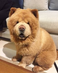 Cute Bear-Dog named Chow Chow, go and look this other cute who was abandoned yesterday, share this please. #Dog #Bear #Cute #ChowChow #Animal #Abandoned