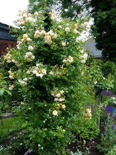'Ghislaine de Féligonde' wird spiralförmig angebunden um die Ranksäule 'Charleston' von Classic Garden Elements.
