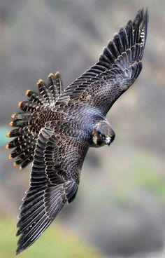 Bird of prey raptors peregrine falcon 46 Ideas Bird Of Prey Tattoo, Tattoo Feather, Tattoo Wings, Vogel Tattoo, Bird Wings, Eagle Wings, Bird Sculpture, Tier Fotos, Birds Of Prey