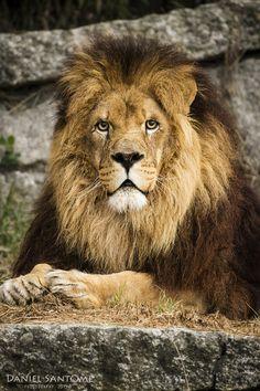 """""""King of South"""", fotografía de un león en el Vigozoo."""