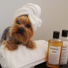 """""""I use Yorkie Poo each time and results are under wraps!"""" #dogs #pets #YorkshireTerriers Facebook.com/sodoggonefunny #yorkie"""