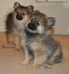 Monica and Tess. These sweet girls are adored by their Forever homes! www.keenpomeranians.com
