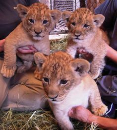 Lion cubs born at the Honolulu Zoo this past December. There's a contest being put on by the zoo for kids to name these cutie pies!