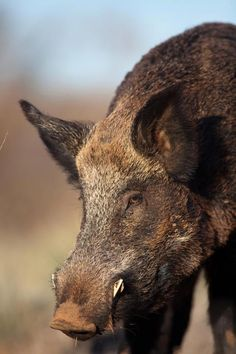 Responsible hunting, game management and wildlife conservation are important aspects of any wild game hunting, but many find the challenge of deer hunting to be the most challenging. Here are some ideas and deer hunting tips to make y Wild Boar Hunting, Bow Hunting Deer, Predator Hunting, Quail Hunting, Turkey Hunting, Hunting Dogs, Hunting Stuff, Crossbow Hunting, Archery Hunting
