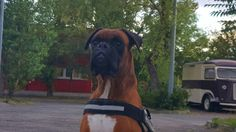 My boxer's  in Hungary