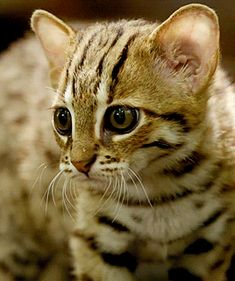 The Rusty-spotted cat is no housecat and roams the wilds of India Shri Lanka and Nepal Fast Crazy Nature Deals. Small Wild Cats, Big Cats, Cats And Kittens, Beautiful Cats, Animals Beautiful, Cute Animals, Baby Animals, Rusty Spotted Cat, Gatos