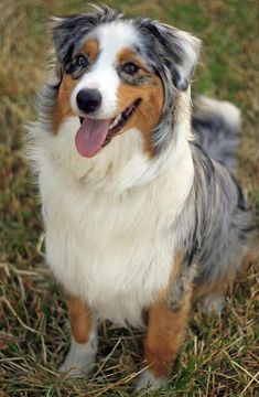 Australian Shephard, my future dog!