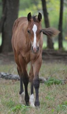 2012 AQHA Bay Colt out Zips Chocolate Chip Daughter for sale in Milam, Texas :: HorseClicks