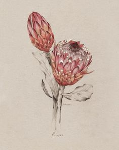 Protea illustration for NZ Home and Garden Magazine by Kelly Thompson .nz - Another! Flor Protea, Protea Art, Protea Flower, Art And Illustration, Floral Illustrations, Motif Floral, Arte Floral, Botanical Flowers, Botanical Prints