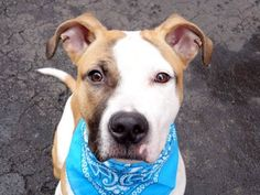 TO BE DESTROYED - 03/29/15 Manhattan Center - P  My name is LANGSTON. My Animal ID # is A1030851. I am a male white and brown am pit bull ter mix. The shelter thinks I am about 10 MONTHS old. For more information on adopting from the NYC AC&C, or to find a rescue to assist, please read the following: http://urgentpetsondeathrow.org/must-read/