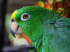 Les environs de Santa Marta abritent des colonies de perroquets qui s'aventurent en ville. En Colombie sur www.tripalbum.net